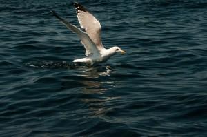 Морски Гларус